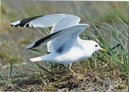 Iceland/Islande/Ijsland/Island Postcard Bird Common Gull Unused - Islande