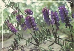 Flowers - Fleurs - Bloemen - Blumen - Fiori - Flores - Hiirenvirna - (Vicia Cracca) - Pro Natura - WWF Panda Logo - RARE - Fleurs