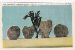 Florida Tarpon Springs Five Varieties Of Commercial Sponges - Etats-Unis