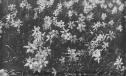 Champ De Narcisses - Suisse - Vaud - Non Circulé - Flowers