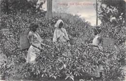 Plucking Tea Leaf,Ceylon 1914 - Cultivation