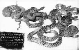 RATTLESNAKE-EVERGLADES REPTILE GARDEN-BONITA SPRINGS FLORIDA-REAL PHOTO POSTCARD 3659830757 - Vereinigte Staaten