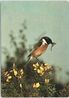 Stonechat, British Bird - Birds