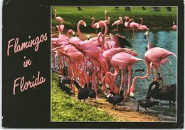 Flamingoes In Florida - Birds