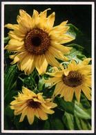 C1854 - Sonnenblumen - Carl Werner Reichenbach - Gel Kirchberg - Flowers