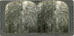BABY MONKEY & MOTHER IN TREE DYING FOR A BANANA ~ Stereoview 21214 P98e/f - Photos Stéréoscopiques
