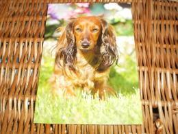 Hund Dog Chien Dachshund Dackel Teckel Postkarte - Hunde