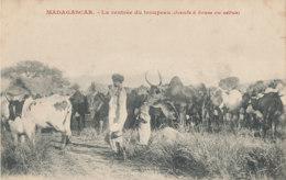 A M 373  /  C P A -   COLONIES FRANCAISES MADAGASCAR - LA RENTREE DU TROUPEAU  BOEUFS A BOSSE OU ZEBUS - Madagascar