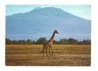 Cp, Animaux, Girafe Masai - Girafes