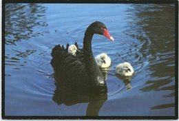 Birds, Black Swan And Cygnets, Cygnus Atratus - Birds