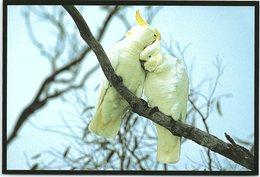 Birds, Sulphur-Crested Cockatoo - Birds