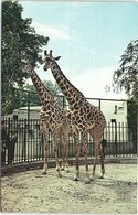 Animal Postcard Giraffes At Bristol Zoo - Girafes