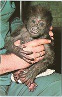 Animal Postcard Baby Gorilla, The Zoological Society London - Monkeys