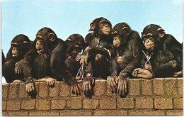 Animal Postcard Chimps Chimpanzees, The Zoological Society Of London - Monkeys