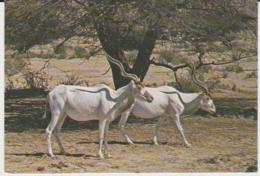 Postcard - The Addax ANTELOPE, A  Desert Animal - Unused  Very Good - Postcards