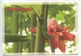 Guadeloupe : Anoli Et Rose De Porcelaine (faune Flore) - Other