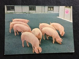 Cerdos - Cerdos