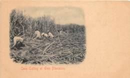Puerto Rico / 17 - Cane Cutting At Ewa Plantation - Puerto Rico
