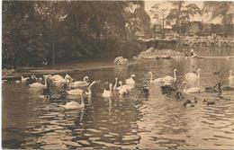 W633 Anvers Antwerpen - Jardin Zoologique Dierentuin - Cygnes Sur Le Grand Bassin Zwanen Op Den Grooten Vijver - Antwerpen