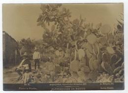 Photo  A. BRIQUET. - ALREDEDORES DE MEXICO - Plantas De Nopales - Cactus 1897 - Ancianas (antes De 1900)