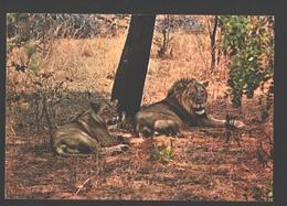 Leeuw / Lions - Luangwa Valley National Park - Lions