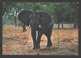 Olifant / Elephant - Luangwa Valley National Park - Éléphants