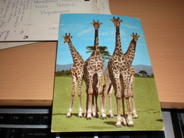 Giraffes Kenya Kenya Aiir Mail - Girafes