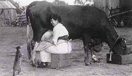 Photo Inattendue Chat Buvant Le Lait Du Pis De La Vache - Reproductions