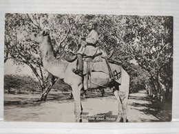 Poona. Elphinstone Road. Camel Transport - Inde