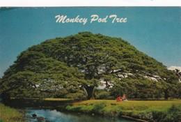 Hawaii Beautiful Monkey Pod Tree - Honolulu