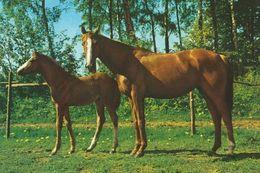HORSES / PFERDE / CHEVAUX /     POSTCARD UNUSED  ( H  5112 ) - Pferde