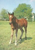HORSES / PFERDE / CHEVAUX /     POSTCARD UNUSED  ( H  5113 ) - Pferde