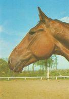 HORSES / PFERDE / CHEVAUX /     POSTCARD UNUSED  ( H  5125 ) - Pferde