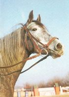 HORSES / PFERDE / CHEVAUX /     POSTCARD UNUSED  ( H  5126 ) - Pferde