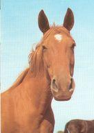 HORSES / PFERDE / CHEVAUX /     POSTCARD UNUSED  ( H  5127 ) - Pferde