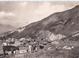 Carte 1958 COL D'ALLOS / PATURAGE (vache,vaches) - Autres Communes