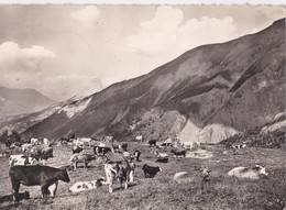 Carte 1958 COL D'ALLOS / PATURAGE (vache,vaches) - Otros Municipios