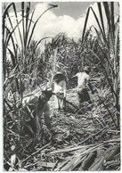 Métiers - Guadeloupe - Coupeurs De Canne à Sucre - Bauern
