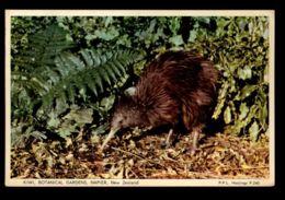 C567 BIRDS OISEAUX UCCELLI - KIWI - BOTANICAL GARDENS OF NAPIER, NEW ZEALAND - Birds