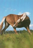 HORSES / PFERDE / CHEVAUX /  POSTCARD  UNUSED  ( H  5150 ) - Pferde