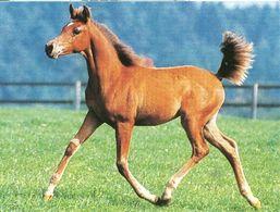 HORSES / PFERDE / CHEVAUX /  POSTCARD  UNUSED  ( H  5153 ) - Pferde