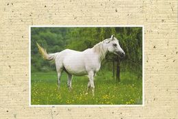 HORSES / PFERDE / CHEVAUX /  POSTCARD UNUSED  ( H  5155 ) - Pferde