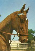 HORSES / PFERDE / CHEVAUX /  POSTCARD UNUSED  ( H  5167 ) - Pferde