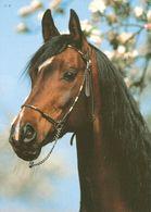 HORSES / PFERDE / CHEVAUX /  POSTCARD UNUSED  ( H  5170) - Pferde