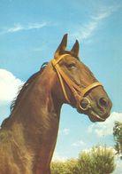 HORSES / PFERDE / CHEVAUX /  POSTCARD UNUSED  ( H  5171 ) - Pferde