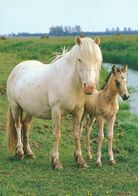 HORSES / PFERDE / CHEVAUX /  POSTCARD UNUSED  ( H  5174 ) - Pferde