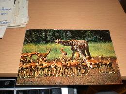 Giraffe And Impala Kenya Air Mail - Girafes