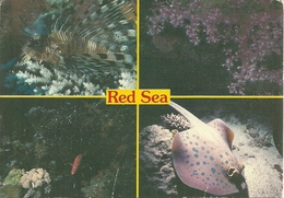 Red Sea (Egypt) Tropical Wildlife, Lion Fish, Soft Corals, Squirrel Fish, Blue Spoted Ray - Egitto