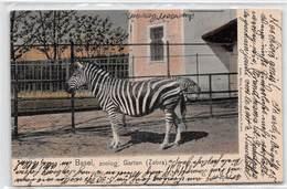 Basel Zoolog. Garten Zebra - Zoo De Bâle - 1905 - BS Bâle-Ville