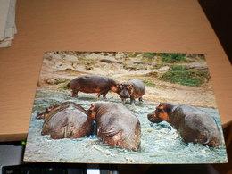 Hippos Kenya Air Mail - Hippopotames